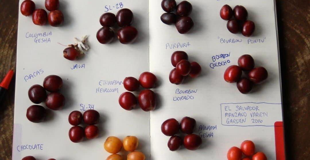 Geisha vs Bourbon: A Crash Course in Coffee Varieties