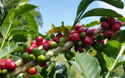The Coffee Roaster's Complete Guide to Coffee Varieties and Cultivars
